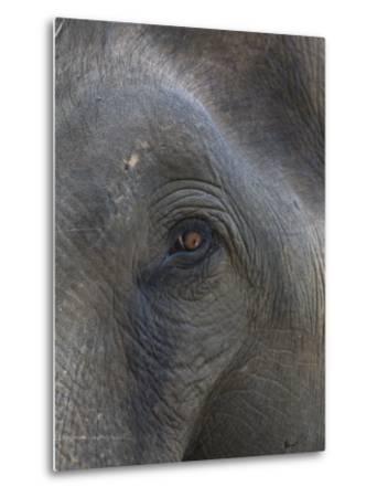 Indian Elephant Close Up of Eye, Controlled Conditions, Bandhavgarh Np, Madhya Pradesh, India-T^j^ Rich-Metal Print