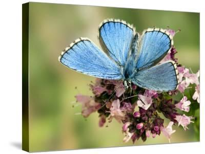 Adonis Blue Male Feeding on Marjoram, Oxfordshire, England, UK-Andy Sands-Stretched Canvas Print
