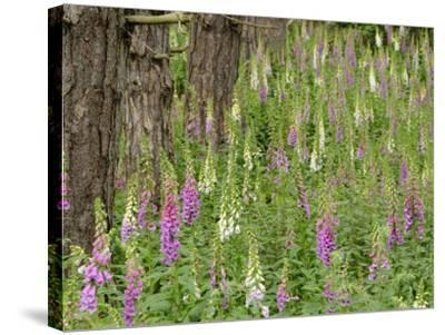 Foxgloves Flowering in Coastal Woodland, Norfolk, UK-Gary Smith-Stretched Canvas Print