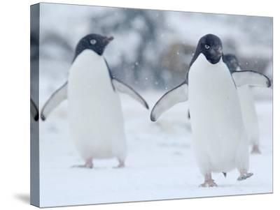 Two Adelie Penguins Walking on Snow, Antarctica-Edwin Giesbers-Stretched Canvas Print