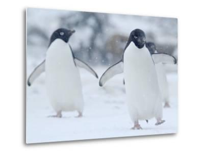 Two Adelie Penguins Walking on Snow, Antarctica-Edwin Giesbers-Metal Print