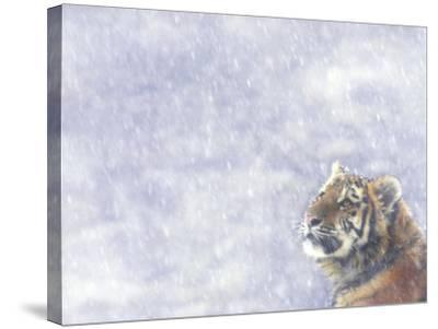 Siberian Tiger Looking Up in Snow-Edwin Giesbers-Stretched Canvas Print