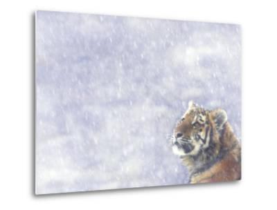 Siberian Tiger Looking Up in Snow-Edwin Giesbers-Metal Print