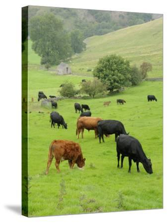 Domestic Cattle on Grazing Meadows, Peak District Np, Derbyshire, UK-Gary Smith-Stretched Canvas Print