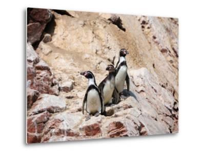 Humboldt Penguins on Isla Ballestas, Ballestas Islands, Peru-Eric Baccega-Metal Print