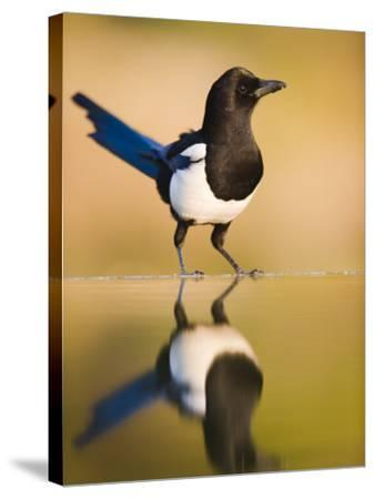 Magpie Coming to Drink at a Pool, Alicante, Spain-Niall Benvie-Stretched Canvas Print