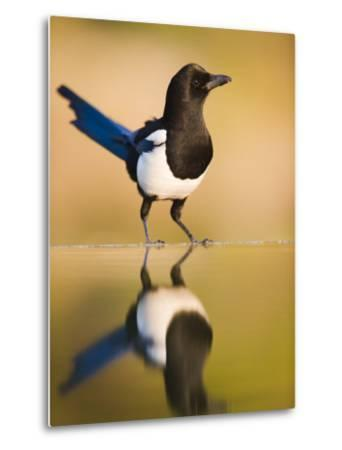 Magpie Coming to Drink at a Pool, Alicante, Spain-Niall Benvie-Metal Print