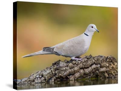 Collared Dove at Water's Edge, Alicante, Spain-Niall Benvie-Stretched Canvas Print