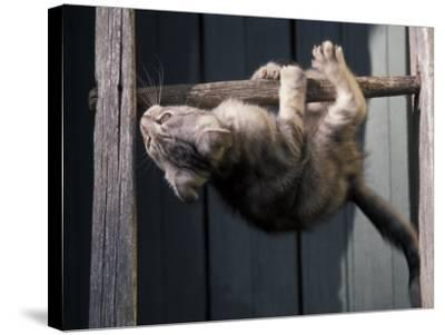 Scottish Fold Cat Hanging Upside-Down from Ladder Rung, Italy-Adriano Bacchella-Stretched Canvas Print