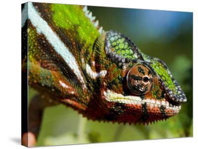 Panther Chameleon Showing Colour Change, Sambava, North-East Madagascar-Inaki Relanzon-Stretched Canvas Print