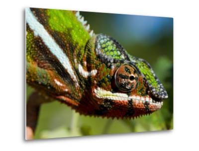 Panther Chameleon Showing Colour Change, Sambava, North-East Madagascar-Inaki Relanzon-Metal Print