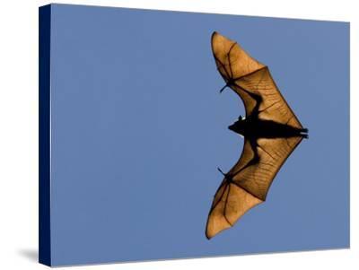 Madagascar Fruit Bat Flying Fox Berenty Reserve, Madagascar-Edwin Giesbers-Stretched Canvas Print