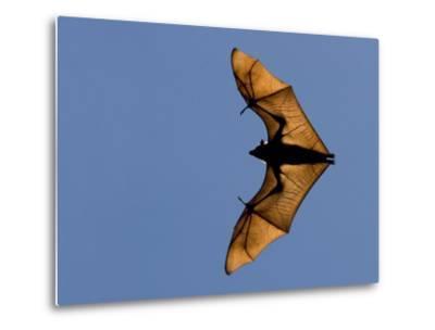 Madagascar Fruit Bat Flying Fox Berenty Reserve, Madagascar-Edwin Giesbers-Metal Print