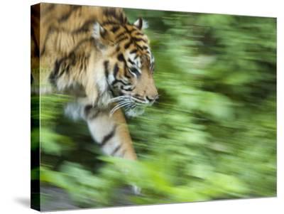 Sumatran Tiger Walking-Edwin Giesbers-Stretched Canvas Print