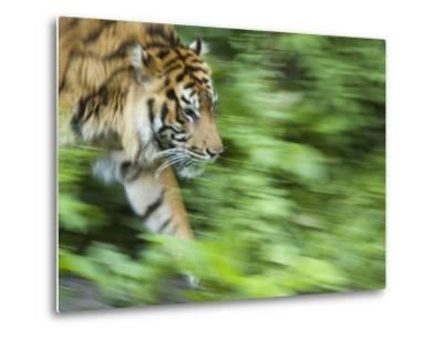 Sumatran Tiger Walking-Edwin Giesbers-Metal Print
