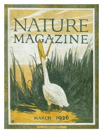 Nature Magazine - View of the American White Pelican with an Open Bill, c.1926-Lantern Press-Framed Art Print