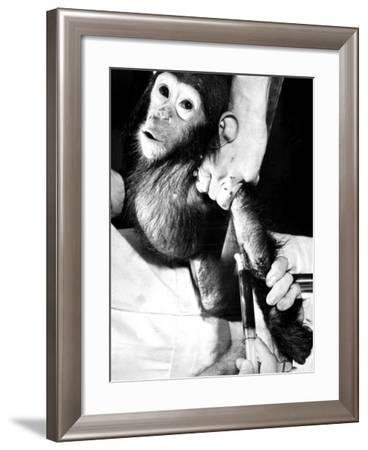 Researchers Testing Immunity of a Chimp That Was Inoculated with Polio Vaccine--Framed Photographic Print