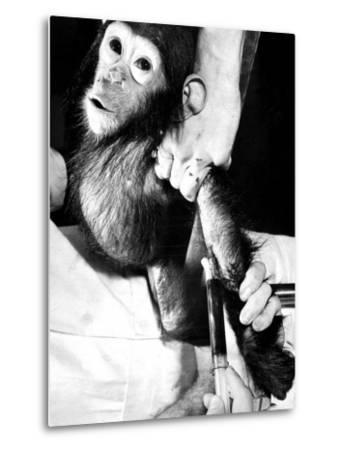 Researchers Testing Immunity of a Chimp That Was Inoculated with Polio Vaccine--Metal Print