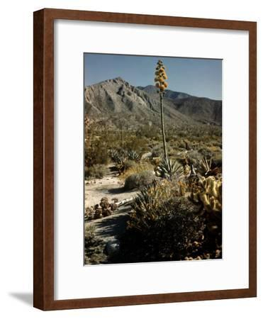 Flowering Agave Plant Sprouting During the Spring in the Sonoran Desert-Andreas Feininger-Framed Photographic Print