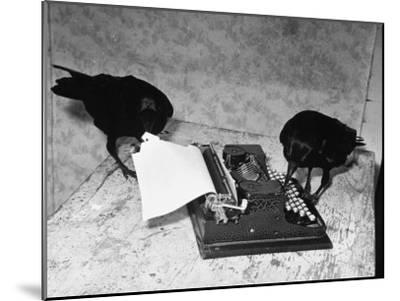 Raven Typing His Own Name of on the Typewriter-Peter Stackpole-Mounted Photographic Print