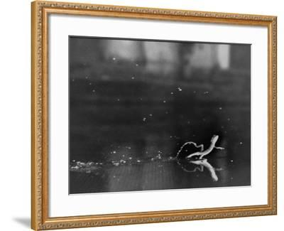 "Basilisk Lizard of Mexico ""Running"" on the Water-Ralph Morse-Framed Photographic Print"
