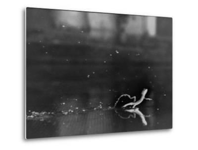 "Basilisk Lizard of Mexico ""Running"" on the Water-Ralph Morse-Metal Print"