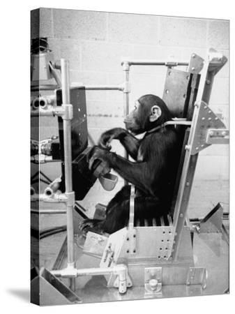 Training Chimpanzees at Hollowan Air Force Base for Trip into Space as Part of the Mercury Project-Ralph Crane-Stretched Canvas Print