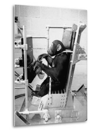 Training Chimpanzees at Hollowan Air Force Base for Trip into Space as Part of the Mercury Project-Ralph Crane-Metal Print