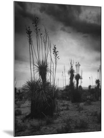 Yucca Plants in Desert-Alfred Eisenstaedt-Mounted Photographic Print