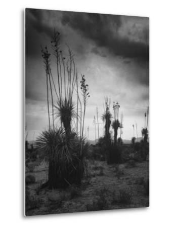 Yucca Plants in Desert-Alfred Eisenstaedt-Metal Print