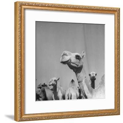 Camels Being Sold at Animal Market-Bob Landry-Framed Photographic Print