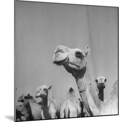 Camels Being Sold at Animal Market-Bob Landry-Mounted Photographic Print