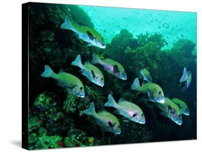A Shoal of Speckled Sweetlips (Plectorhinchus Fishes)-Andrea Ferrari-Stretched Canvas Print