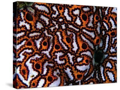 Colonial Sea Squirt-Andrea Ferrari-Stretched Canvas Print