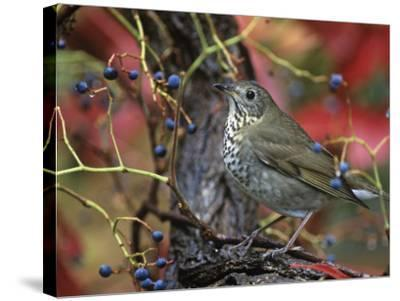 Gray-Cheeked Thrush in Virginia Creeper in the Fall (Catharus Minimus). Eastern USA-Steve Maslowski-Stretched Canvas Print