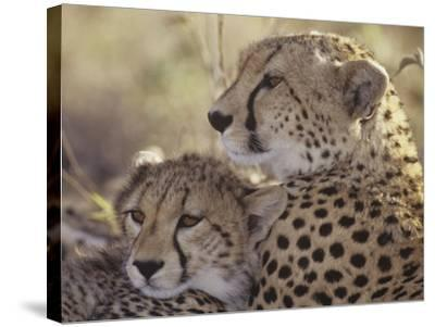 Cheetah Cub with its Mother, Acinonyx Jubatus, East Africa-Gerald & Buff Corsi-Stretched Canvas Print