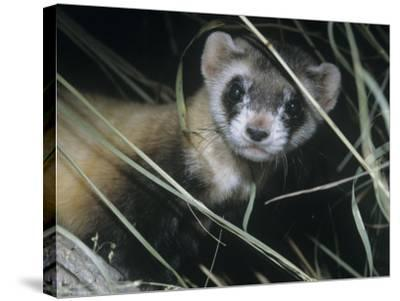 Black-Footed Ferret (Mustela Nigripes), a Highly Endangered Species of North American Mammal-Ken Lucas-Stretched Canvas Print