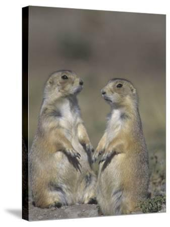 Black-Tailed Prairie Dogs Near the Opening to their Burrow, Cynomys Ludovicianus, Western USA-Joe McDonald-Stretched Canvas Print
