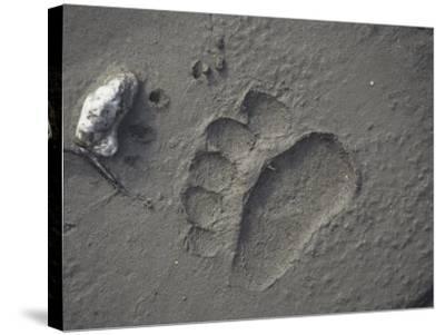 Grizzly Bear (Ursus Arctos) Track in Mud, Alaska, USA-Tom Walker-Stretched Canvas Print