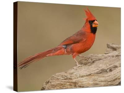Male Northern Cardinal, Cardinalis Cardinalis, North America-John Cornell-Stretched Canvas Print