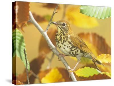 Wood Thrush (Hylocichla Mustelina) in a Fall Beech Tree. Eastern USA-Steve Maslowski-Stretched Canvas Print