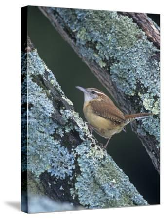 Carolina Wren (Thryothorus Ludovicianus). Eastern USA-Steve Maslowski-Stretched Canvas Print