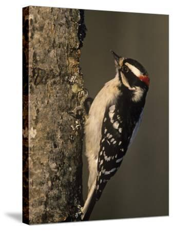 Downy Woodpecker at its Nest Hole in a Tree, Picoides Pubescens, Michigan, USA-John & Barbara Gerlach-Stretched Canvas Print