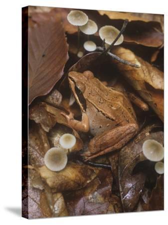 Wood Frog, Rana Sylvatica, Eastern North America-Gary Meszaros-Stretched Canvas Print