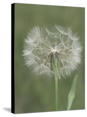 Goatsbeard Seed Head and Flower Bud (Tragopogon Pratensis), North America-Leroy Simon-Stretched Canvas Print