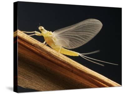 Mayfly Sub-Adult Female (Probably Ephemerella Dorothea)-Thomas Ames Jr.-Stretched Canvas Print