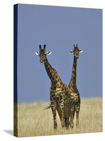 Pair of Masai Giraffes (Giraffa Camelopardalis Tippelskirchi), Masai Mara Game Reserve, Kenya-Adam Jones-Stretched Canvas Print