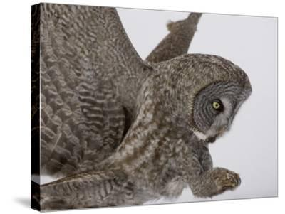 A Great Gray Owl Pouncing on its Prey, Strix Nebulosa, North America-Joe McDonald-Stretched Canvas Print