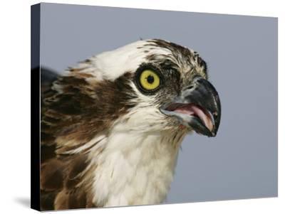Osprey Head, Pandion Haliaetus, North America-Arthur Morris-Stretched Canvas Print