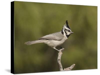 Bridled Titmouse (Baeolophus Wollweberi) on a Branch, Southern Arizona, USA-Charles Melton-Stretched Canvas Print
